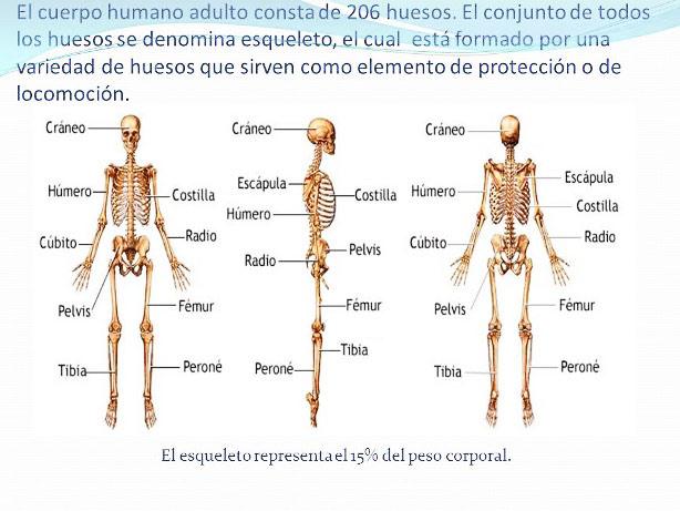 Cuántos huesos tiene el esqueleto humano