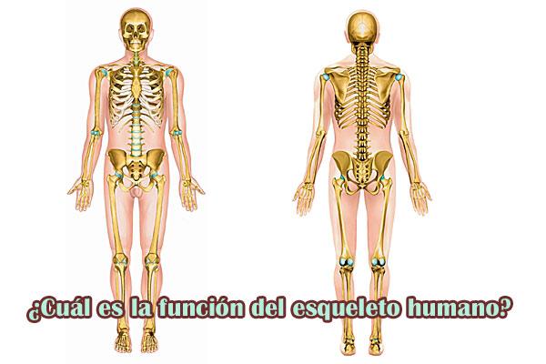 Qué función cumple el esqueleto humano
