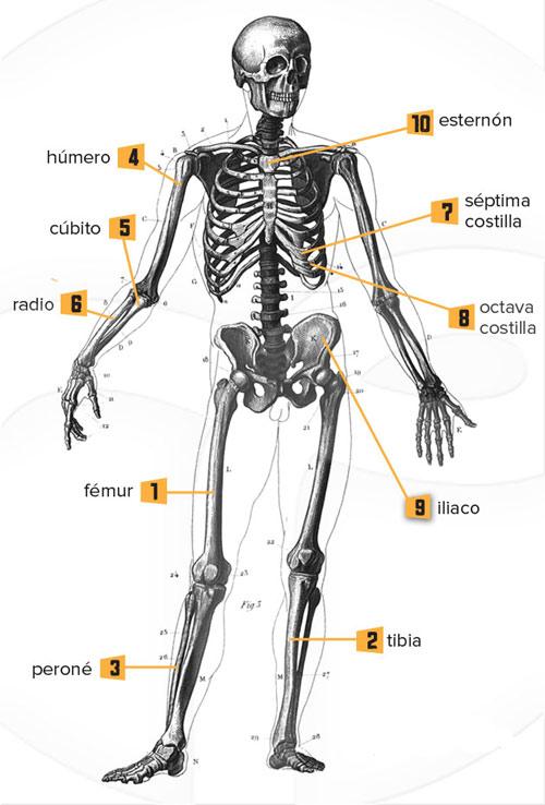 Cuáles son los huesos más largos del esqueleto humano