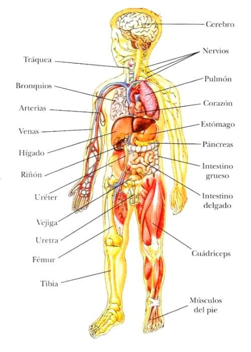 Qué organos son protegidos por el esqueleto humano