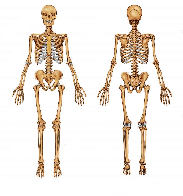 Porque se llama esqueleto humano