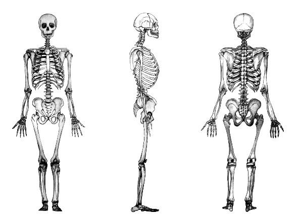 Qué es el esqueleto humano
