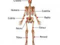 Huesos más importantes del esqueleto humano