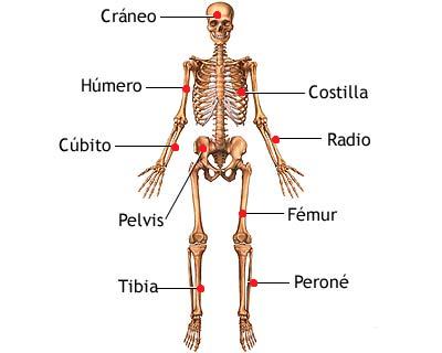 Huesos más importantes del esqueleto humano - Esqueleto humano