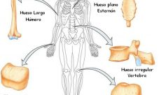 Tipos de huesos del esqueleto humano