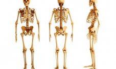 ¿Cómo se divide el esqueleto humano?
