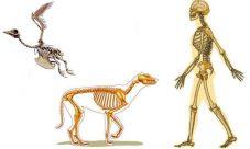 Diferencia entre el esqueleto humano y el animal