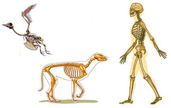 Diferencia entre el esqueleto humano y el animal - Esqueleto humano