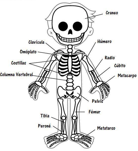 Imágenes del esqueleto humano para colorear - Esqueleto humano