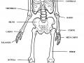 Imágenes del esqueleto humano para colorear