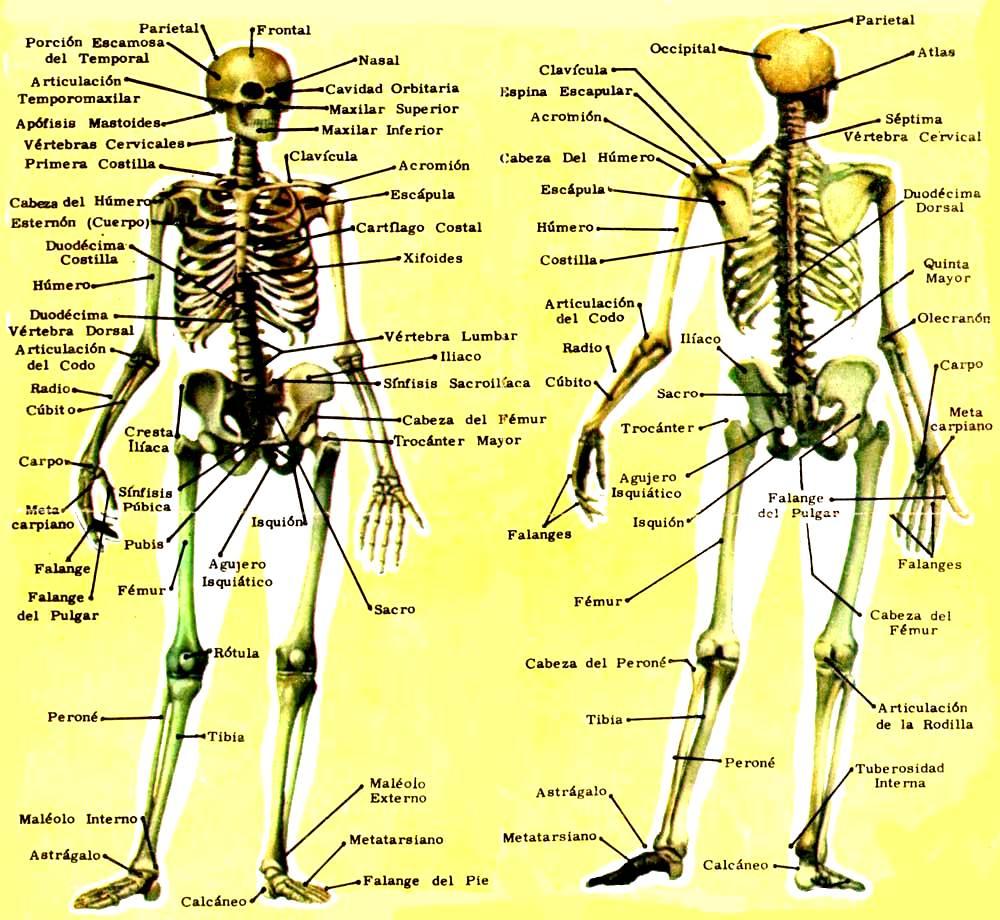 Nombres de los 206 huesos del cuerpo humano - Esqueleto humano