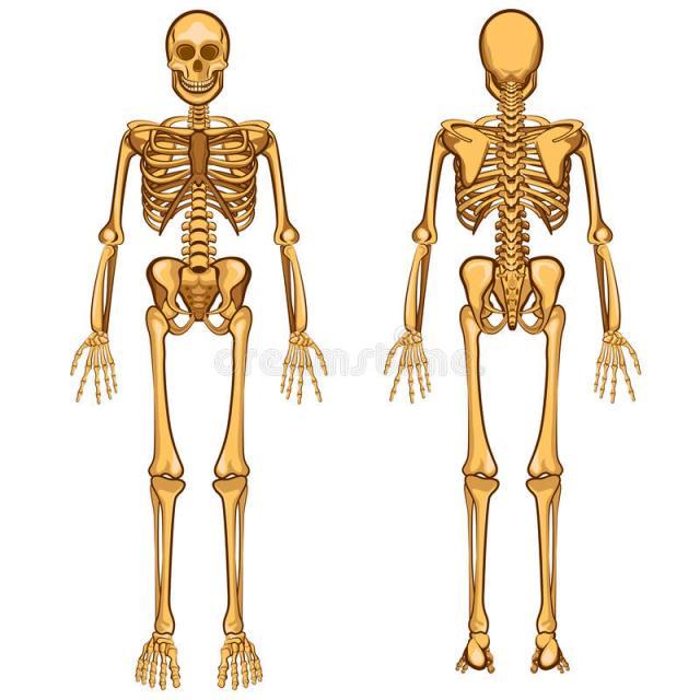 Qué cantidad de fósforo contiene el cuerpo humano? - Esqueleto humano