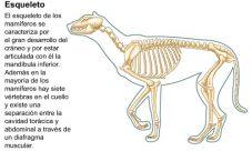 Características del esqueleto de los mamíferos