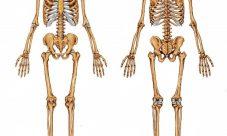 Datos curiosos acerca de los huesos humanos