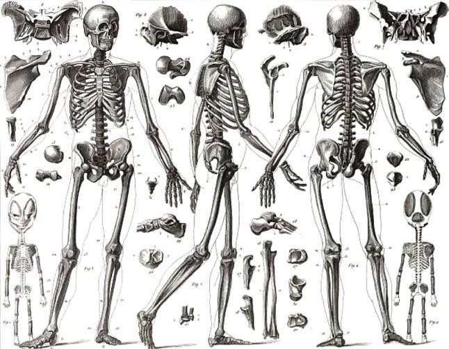 Descripción anatómica del esqueleto humano - Esqueleto humano