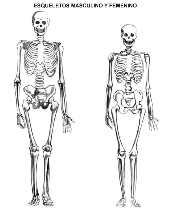 Diferencias entre el esqueleto femenino y masculino - Esqueleto humano