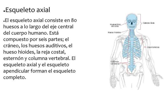 ¿Cuál es el eje central del esqueleto humano?