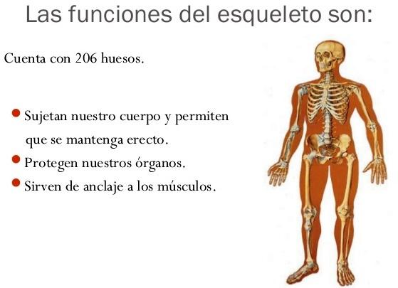 ¿Cuál es la función principal del esqueleto humano?