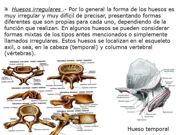 ¿Cuáles son los huesos irregulares del esqueleto humano?