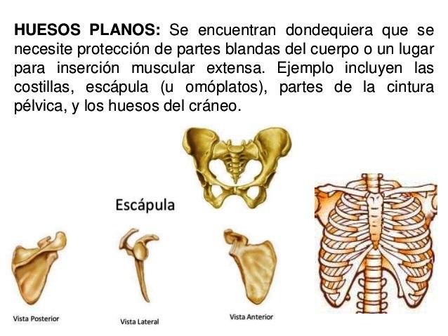 ¿Cuáles son los huesos planos del cuerpo humano?