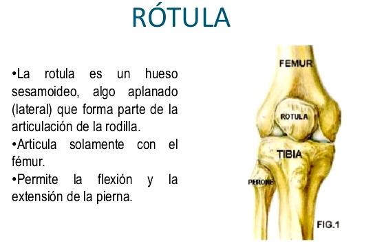 Huesos sesamoideos del cuerpo humano