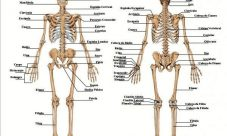 Imágenes del esqueleto humano con nombres