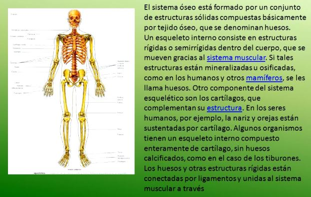 ¿Qué es el sistema óseo humano?