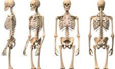 Características de los huesos