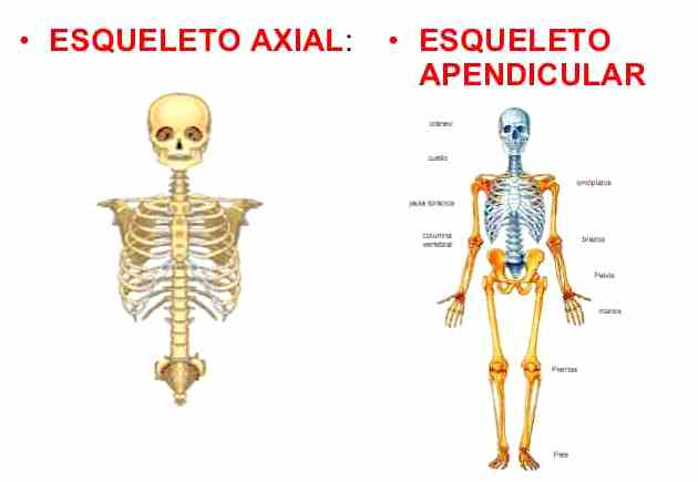 Divisiones del esqueleto humano