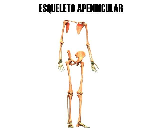 ¿Qué es el esqueleto apendicular?