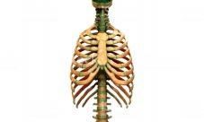 Importancia del esqueleto axial