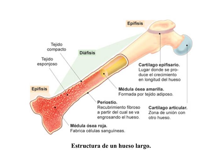 estructuradeloshuesos
