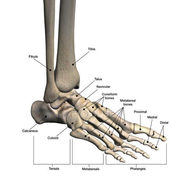 huesos-del-pie