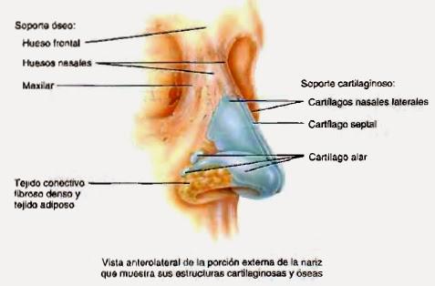 Huesos de la nariz