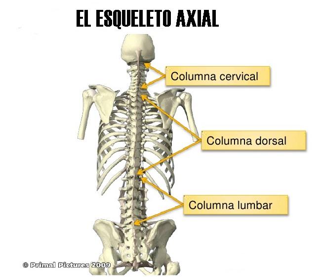 ¿Qué es el esqueleto axial?