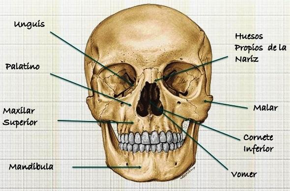 Cuántos huesos tiene la cara