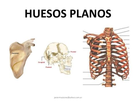 Huesos planos del esqueleto humano